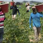 Masked farmworkers carry buckets of produce