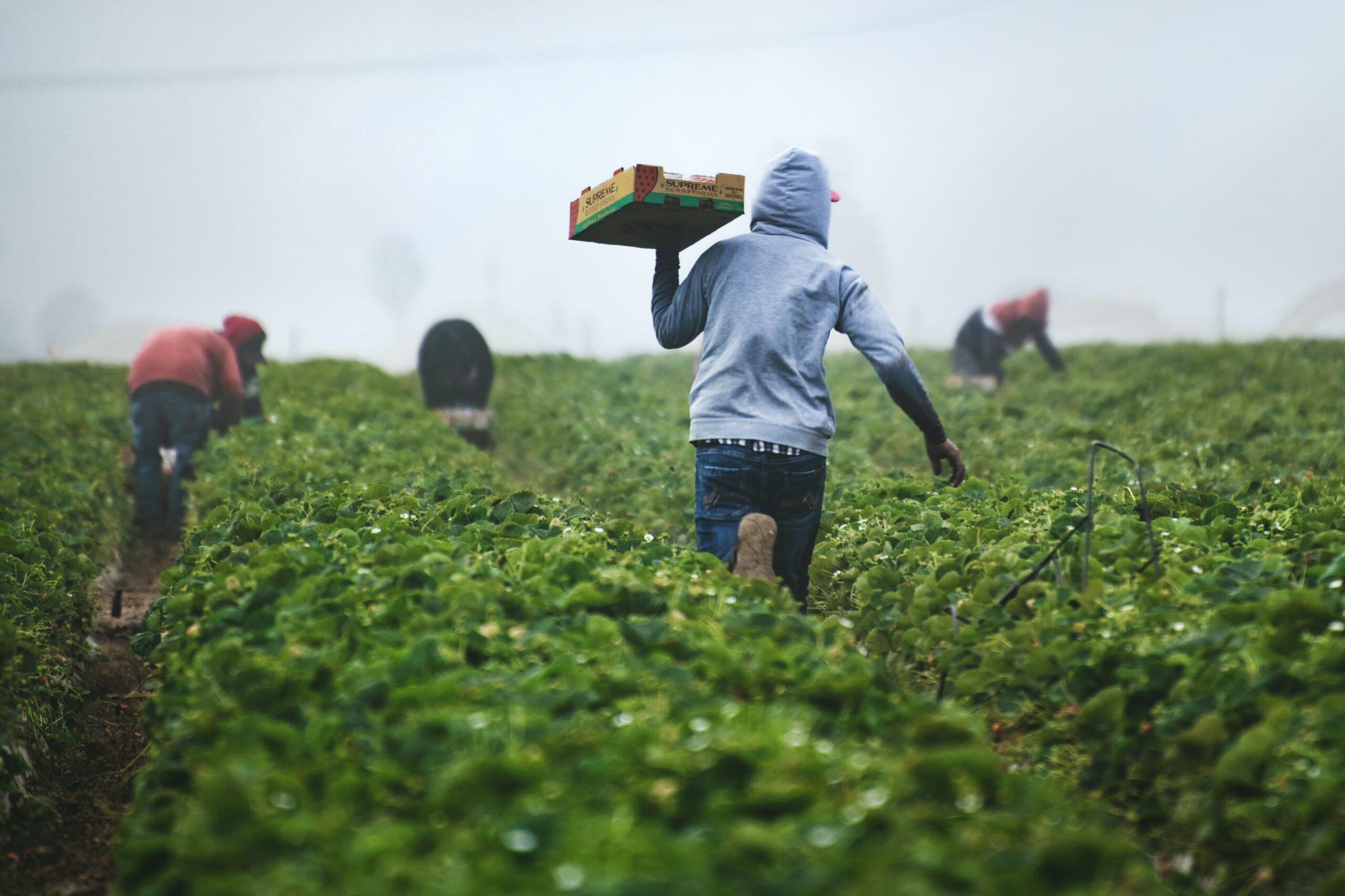 A worker in a field of short green bushes wearing a grey hoodie carries a box toward other workers in the background